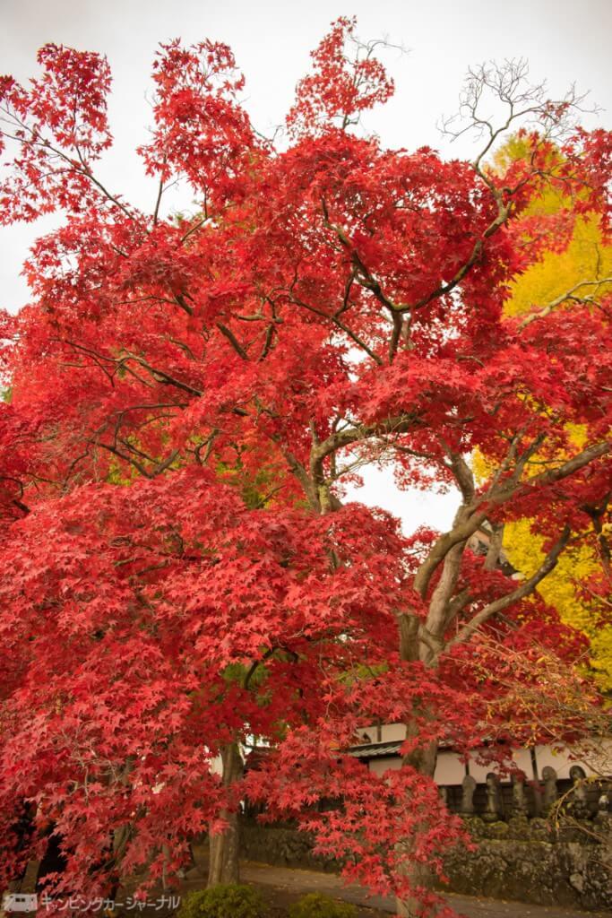 見事に紅葉している楓の木