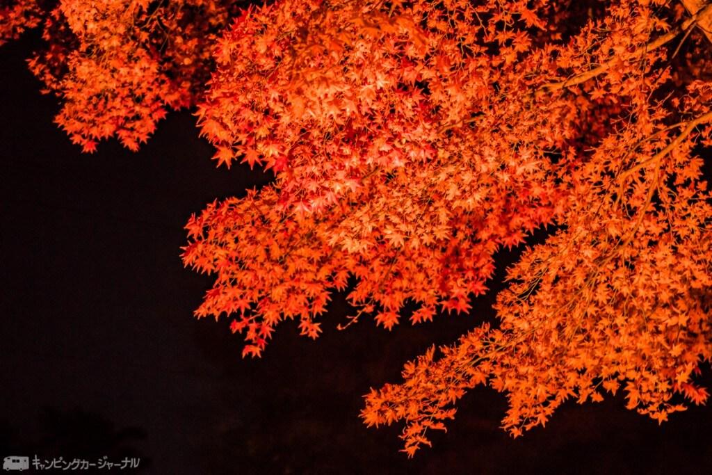 闇に映える赤い紅葉です🍁綺麗です!
