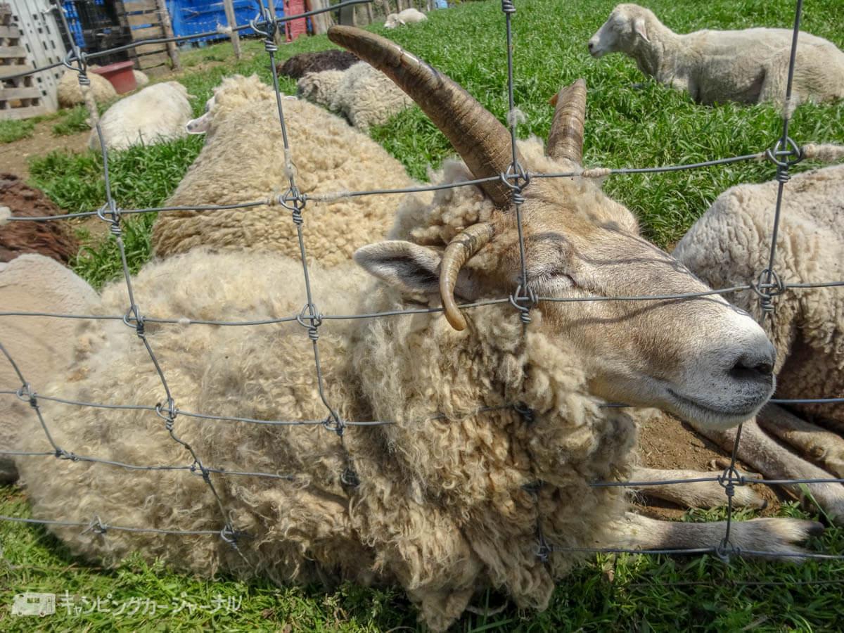 羊は網に絡んでいる